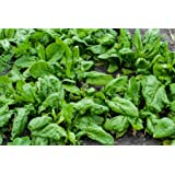 100 Spinach Seeds - Bloomsdale Heirloom Spinacia Oleracea - by RDR Seeds