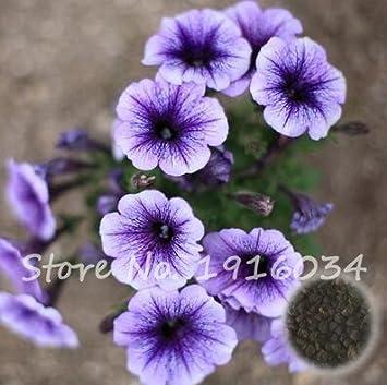 Amazon com : 10 Pcs/bag Picotee Blue Morning Glory Seeds Very Easy