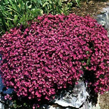 Outsidepride Aubrieta Cascade Red Seeds - 2000 seeds - Ground Cover Landscaping