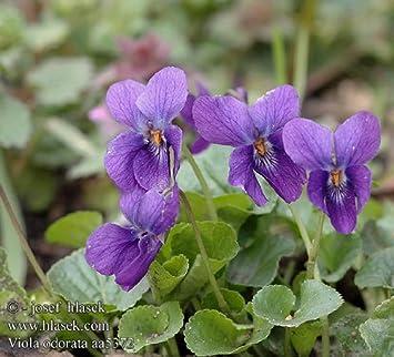 Image result for Viola odorata en español
