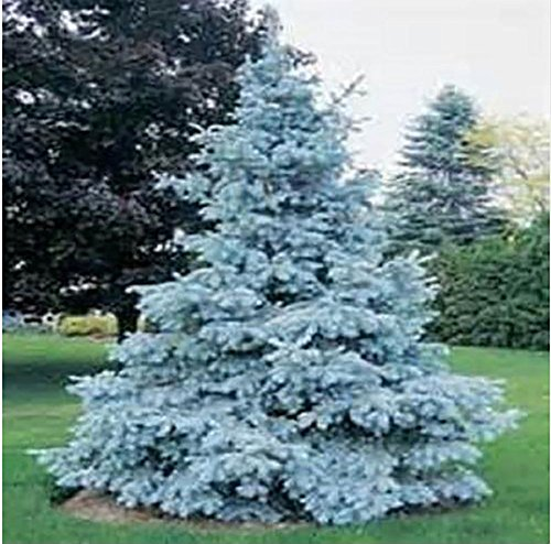 Yongyut-Tree seeds Home Garden Plant Evergreen Colorado Blue Spruce Picea Pungens Glauca Tree Courtyard planters 10 - Mills Colorado Store Colorado
