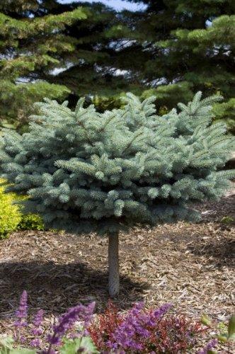 Globe Blue Spruce (Spruce Blue Globe on a STD > Picea pungens 'Globosa' >Landscape Ready 5 gallon)