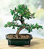 """Brussels Live Chinese Elm Outdoor Bonsai Tree - 5 Years Old; 6"""" to 8"""" Tall with Decorative Container"""