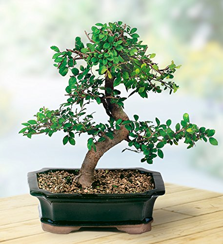 Brussel's Live Chinese Elm Outdoor Bonsai Tree – 5 Years Old; 6″ to 8″ Tall with Decorative Container