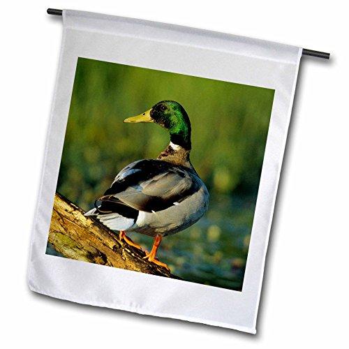 3dRose Danita Delimont - Duck - Mallard male on log in we...
