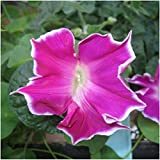 Package of 100 Seeds, Red Picotee Morning Glory (Ipomoea nil) Non-GMO Seeds By Seed Needs