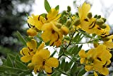 20 Seeds Buttercup Texas Flowery Tree Drought Tolerant Profusion of Yellow Blooms Easy to Grow Cassia corymbosa Yellow Senna by yunakesa