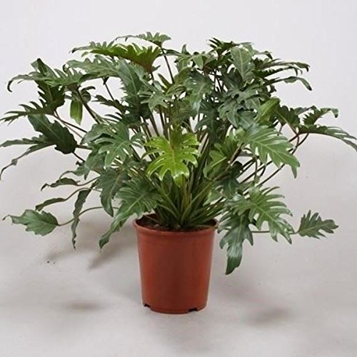 Philodendron 'Xanadu' Houseplant ina 17cm pot. 60cm tall. Perfect Plants
