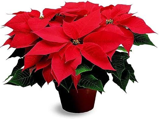 Stella Di Natale Costo.Pianta Natalizia Vera Ornamentale Stella Di Natale Rossa O 17 Cm H 70 Cm Amazon It Giardino E Giardinaggio
