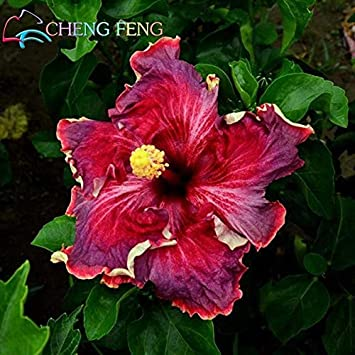 Amazoncom 100 Pcs Giant Rainbow Hibiscus Flower Seeds Chinese Diy