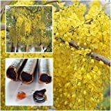 Cassia fistula Seeds, Golden shower, Indian laburnum, Pudding-pine tree, Thai