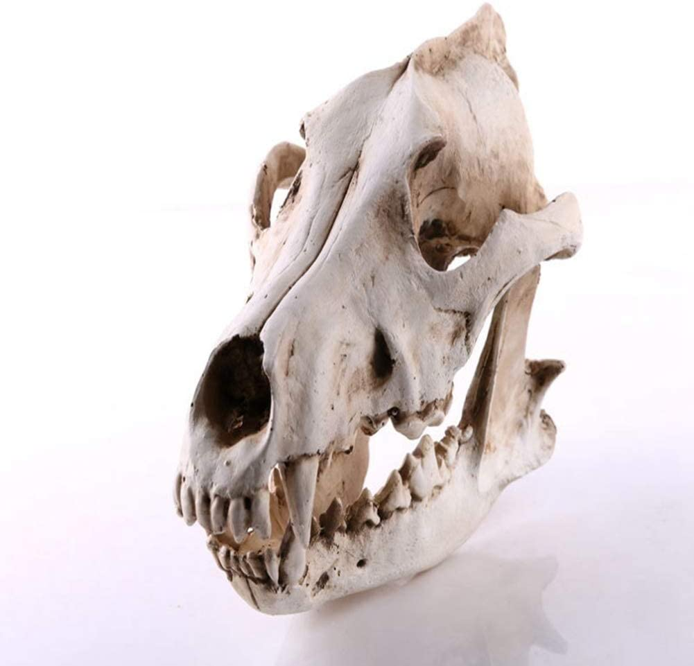 Amazon Com Jdshso Resin Craft Halloween Decor Gift Wolf Skull Statues Creative Sculptures Dog Skull Model Wolf Skeleton Figurines Home Kitchen