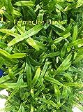 """MICROSORUM DIVERSIFOLIUM - KANGAROO PAW - 3"""" pot - 1 PLANT"""