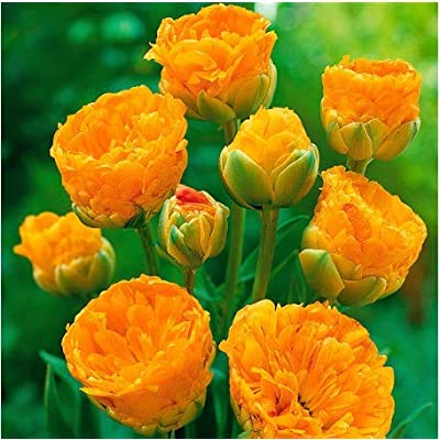 Humany flowerseeds- 100pcs Tulip Bulbs Flower Seeds, Colorful Flower Seeds Tulips Perennial Bonsai Ornamental Flowers for Home Garden : Garden & Outdoor