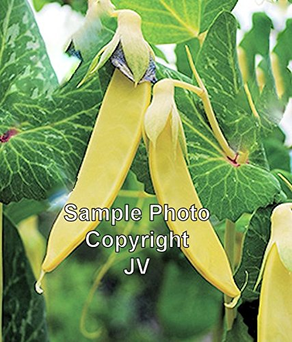 Snow Peas Grow - Yellow Pod Pea 50 Seeds Certified organic Tender Sweet Loves cool weather produces abundantly & early Shelling or Snow Pea