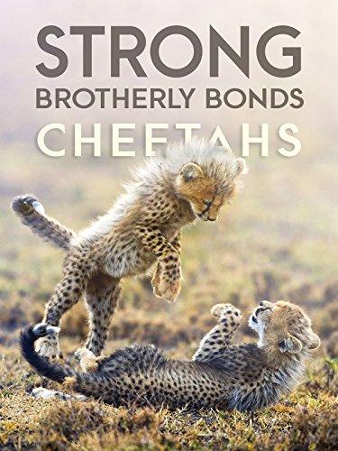 Strong Brotherly Bonds: Cheetahs