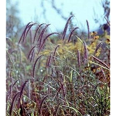 Ornamental Grass Seed - Elymus Canadensis Seeds : Garden & Outdoor