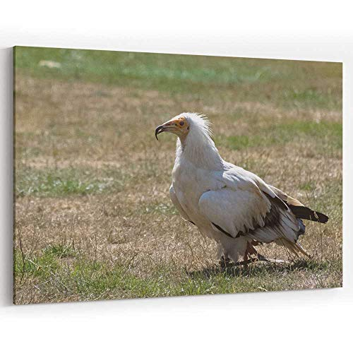 Actorstion Egyptian Vulture Neophron percnopterus Canvas Art Wall Dcor,36
