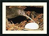 Framed Art Print 'North Island Brown Kiwi Parent with Egg, New Zealand' by Mark Jones