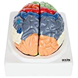 Axis Scientific Human Brain Model with Colored and Labeled Regions | 2-Part Brain Includes Base and Full Color Product Manual | 3 Year Warranty