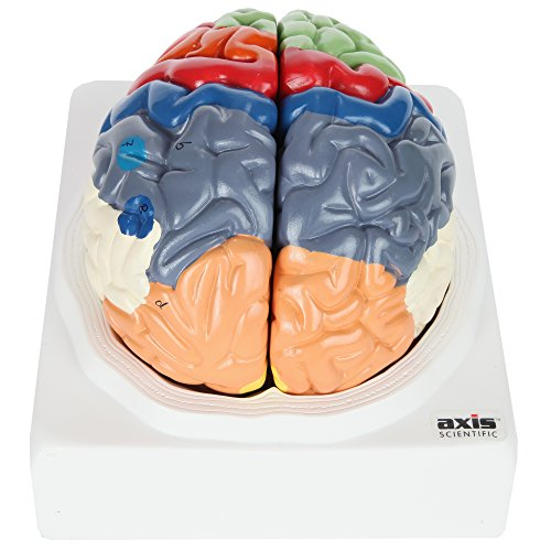Axis Scientific Human Brain Model with Colored and Labeled Regions | 2-Part Brain Includes Base and Full Color Product Manual | 3 Year Warranty ()
