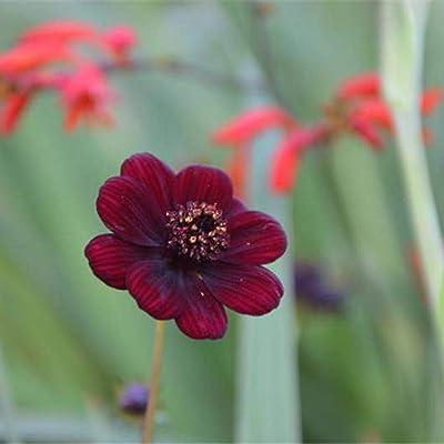 QiBest Rare Chocolate Cosmos Seeds DIY Home Garden Bloom Flower Seed Flowers : Garden & Outdoor