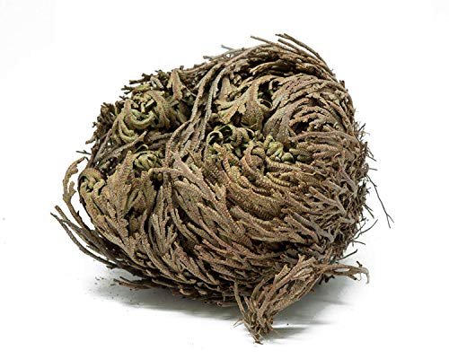 Herbs-Rose of Jericho Flowers (1 Flower) Resurrection Fern - Selaginella lepidophylla