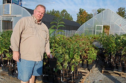 Paw-Paw Tree Asimina triloba Edible Fruit 17'' - 24'' Nice Heavy Roots - One Trade Gallon Pot - 1 plant by Growers Solution by Grower's Solution (Image #1)