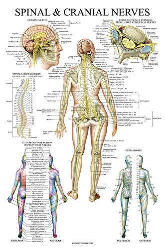 Spinal Nerves Anatomical Chart - Spine and Cranial Nervous System Anatomy Poster (with Dermatones) (Laminated, 18 x 27)