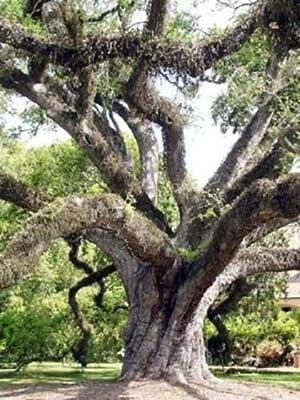 Quercus virginiana Live oak @ tree bonsai seed 10 seeds