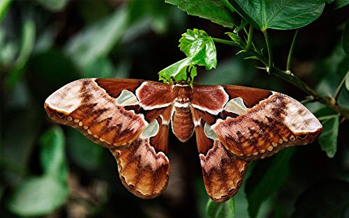 Home Comforts LAMINATED POSTER Butterfly Moth Atlas Moth Attacus Atlas Poster 24x16 Adhesive (Attacus Atlas)