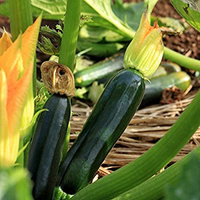 Black Beauty Zucchini Summer Squash Garden Seeds - Non-GMO, Heirloom - Vegetable Gardening Seed