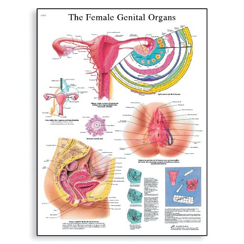 3B Scientific VR1532L Glossy Laminated Paper The Female Genital Organs Anatomical Chart, Poster Size 20