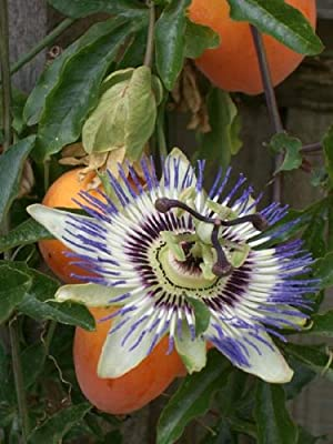 *Seeds and Things Edible Passion Flower Fruit Seeds 15+ Passiflora edulis