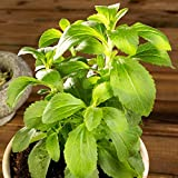 Stevia Organic Seeds up to 10 Seeds
