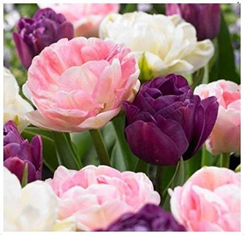 (5 Romance Mix Tulip Bulbs~Double Late (Peony-Flowering)~Purple,Pink,White Flower)