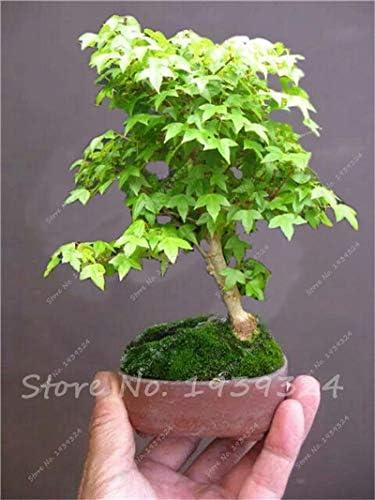 10 Unids Semillas de Arce Bonsai Plantas Semillas de Flores Japonesas Plantas Para Jardín Jardín Decoración: Amazon.es: Jardín