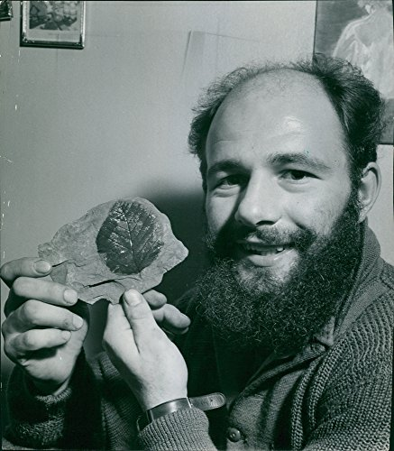 Vintage photo of Man shows fossils of leaves. (Fossil Leaf)