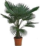 Winterharte Hanfpalme - Trachycarpus fortunei - 140-160cm Stamm 30-40cm im 17Ltr. Topf