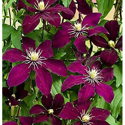 "Plant Magestic Niobe Clematis Vine Live Plant Deep Ruby Red 2.5"" Pot Get 1#NS01YN : Garden & Outdoor"