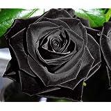Exotic Plants Rose noire - 10 graines