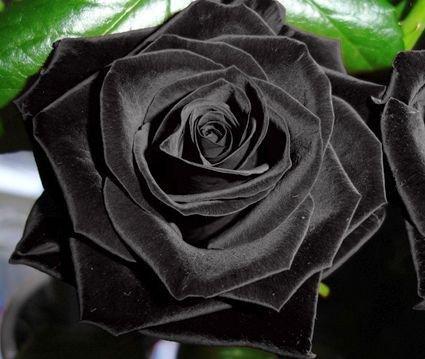 black-of-night-rose-seeds-bush-flower-seeds-treasuresbylee-exclusive