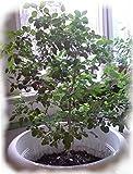 Seeds Holy Basil - Tulsi - Sacred (Ocimum sanctum) Organic Medical Herb