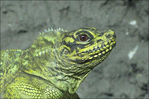 42x63 Poster; Sailfin Lizard (Hydrosaurus Pustulatus) In Helsinki Tropicario Zoo