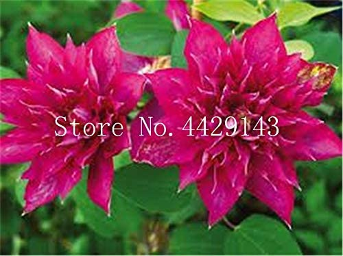 Pinkdose 100 PC/bolso de la flor del Clematis Clematis vides ...
