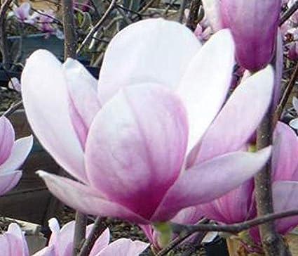 Amazoncom Magnolia Soulangeana Tulip Tree 10seeds Garden