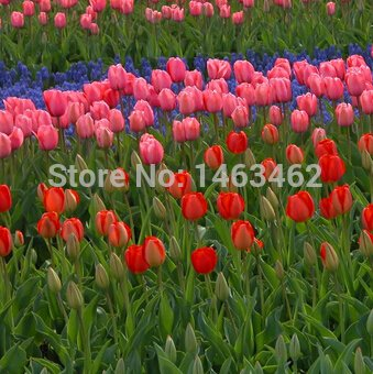 tulip seeds 50pcs mixing colors,potted indoor and outdoor potted plants purify the air flower seeds (Mix minimum order$6)
