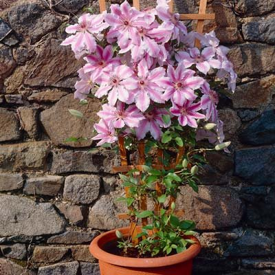Nelly Moser Clematis by Brighter Blooms