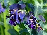 New CERINTHE Major Pride of Gibralter/Blue Shrimp Flower 20+ Seeds