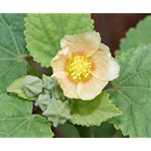 100 COUNTRY MALLOW Sida Cordifolia Flower Seeds